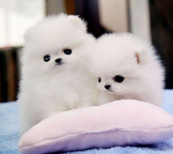 Tekopp Pomeranian valpar för adaption