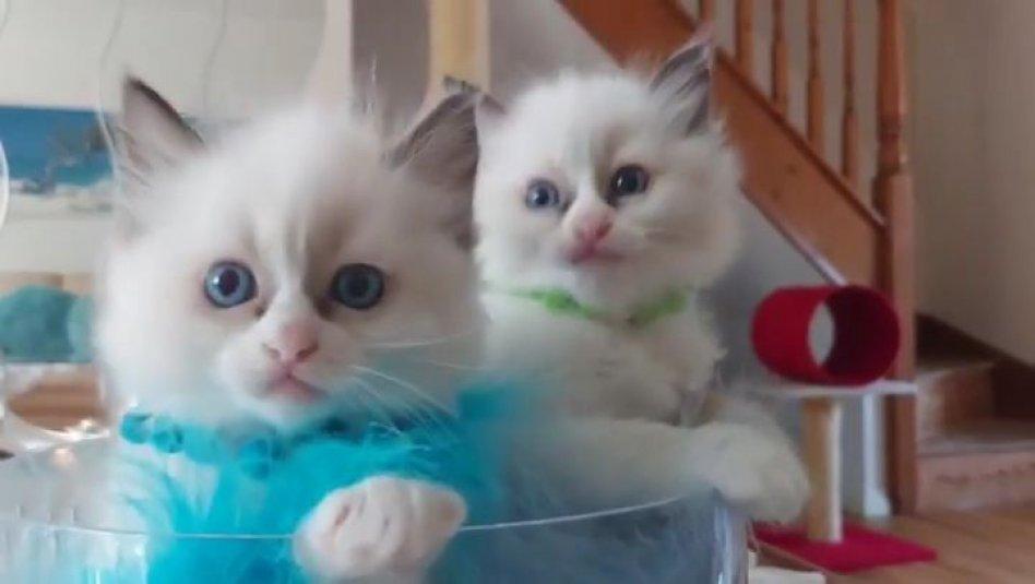 Blå ögon Ragdoll kattunge för man och kv