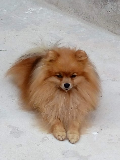 Pomeranian hane