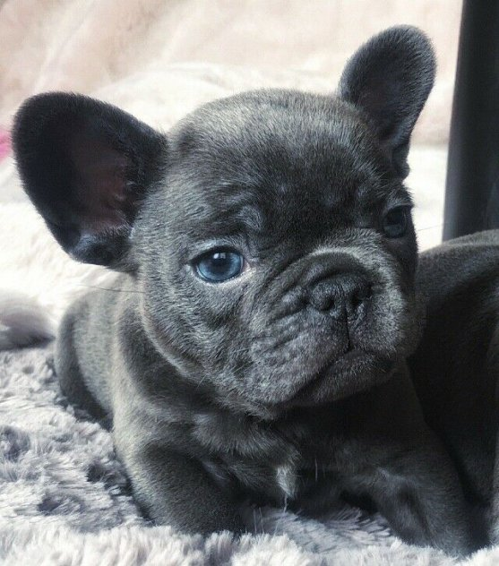 blå franska bulldogvalpar