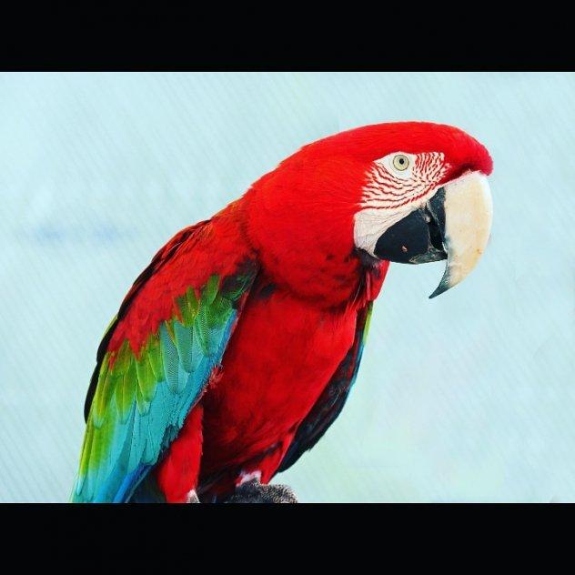 Papegoja/ara