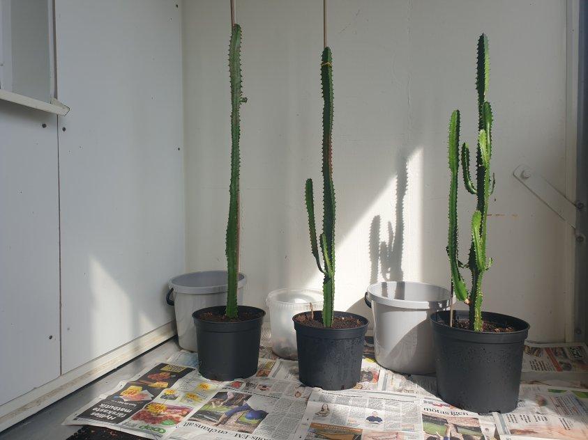Tre fina kaktus