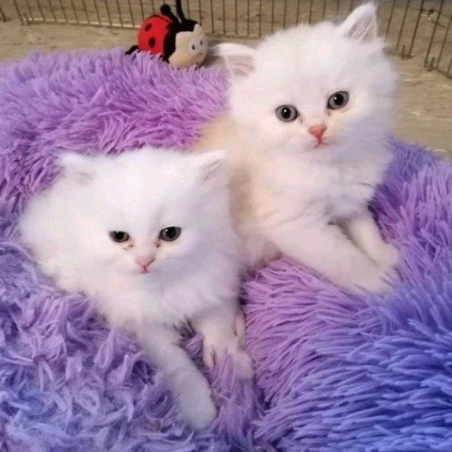 Persiska kattungar nu tillgängliga