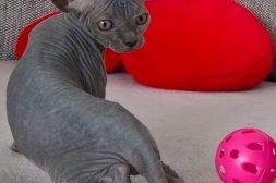 manlig och kvinnlig vacker hårlös kattun