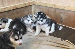 Blå ögon Siberian husky valpar