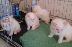 Hemuppfödda Ragdoll kattungar