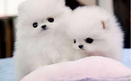 Ursnygga Pomeranian valpar redo för jul