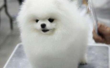 3 Super Tiny Pomeranian valpar för adopt